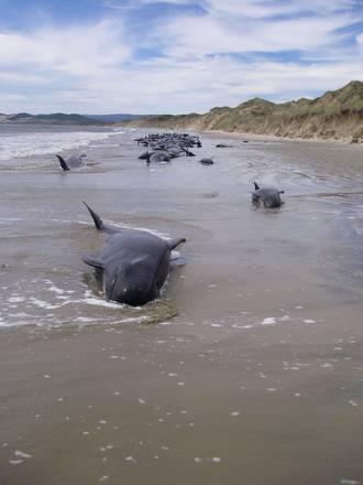 N.Zelanda, balene arenate
