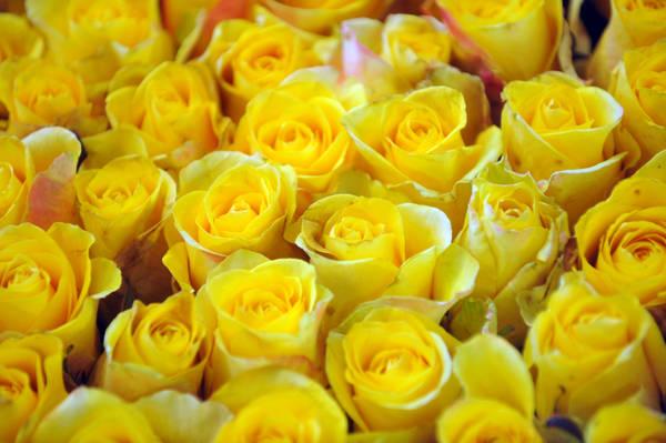 Una composizione di rose gialle esposta alla fiera di Euroflora a Genova