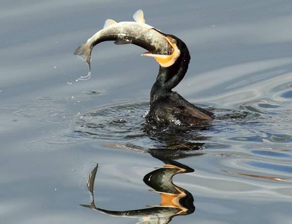 Un cormorano ingoia un grosso pesce in un lago della citta for Grosso pesce di lago
