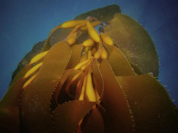 Le alghe i cui zuccheri vengono trasformati in etanolo dai batteri Escheria coli genericamente modificati (fonte: Bio Architecture Lab.)