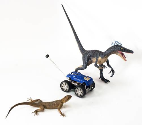 Una lucertola Agama agama vicino a un modellino di Velociraptor e a Tailbot (fonte: Thomas Libby, Evan Chang-Siu e Pauline Jennings. Courtesy of PolyPEDAL Lab & CiBER/UC Berkeley)