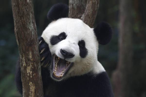 Panda Jia Jia a Singapore, in prestito dalla Cina