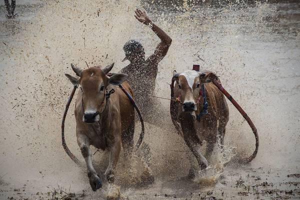 La tradizionale corsa con le mucche, chiamata Pacu Jawi, sui campi fangosi della risaia di Tanah Datar, in Indonesia