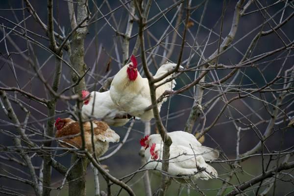 Svizzera: galline curiosamente appollaiate su un albero di ciliegio