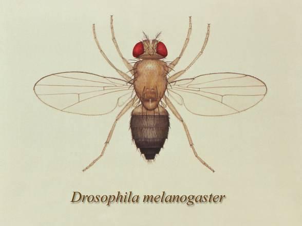 Il moscerino della frutta, Drosophila melanogaster (fonte: CDC)