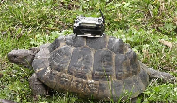 Un gps per le tartarughe tecnologie scienza tecnica for Deposizione uova tartarughe terrestri