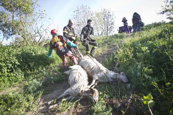 A Roma, giorno di Pasquetta, un gregge di circa 130 pecore e' stato rincorso da un branco di cani randagi e per sfuggire e' finito nelle acque del fiume Aniene