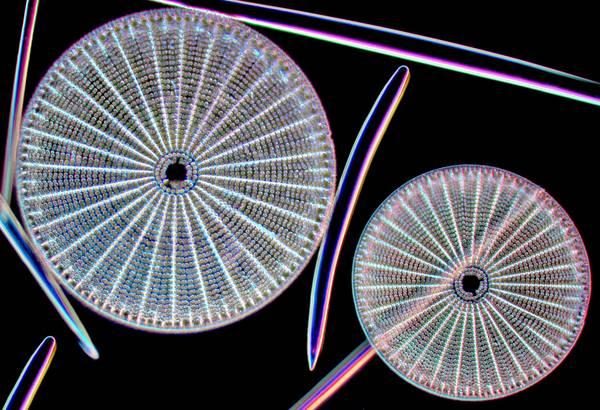 Diatomee fotografate al microscopio, 200 ingrandimenti (fonte: foto di Massimo Brizzi, www.massimobrizzi.it, vetrino di Marinella Abbate)