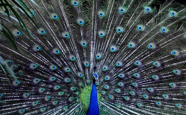 Un pavone fa la ruota allo zoo di Calcutta