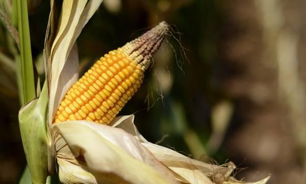 Corte Ue: Italia non puo' bloccare coltura sementi Ogm