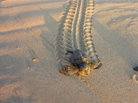Clima sandy colpiti nidi ritardatari di tartarughe for Temperatura tartarughe