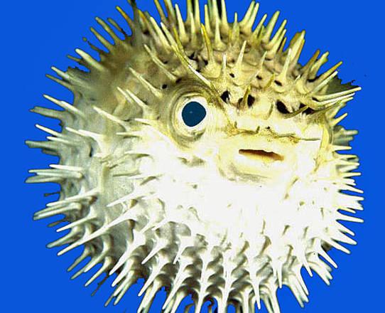 Pesce palla 39 artista 39 cerchi sottomarini natura for Disegno pesce palla