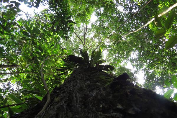Il noce del Brasile è una delle specie iperdominanti in Amazzonia (fonte: Hans ter Steege)