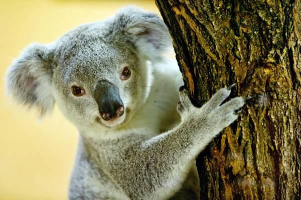Estinto in australia 10 mammiferi da arrivo europei for Mammiferi che vivono in acqua