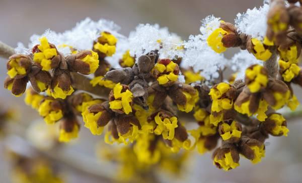 La neve ricopre un ramo fiorito a Jacobsdorf (Germania)
