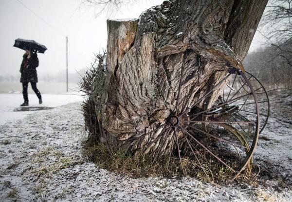Ruote in metallo, abbandonate da decenni sono state 'divorate' dal tronco di un vecchio salice a Floersheim-Wicker, Germania