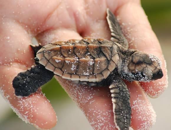 Il dna aiuta a proteggere le tartatughe marine biotech for Tartarughe appena nate