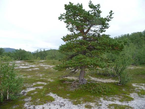 Gli alberi avanzano nella tundra della contea norvegese di Finnmark (fonte: Hans Tommervik)
