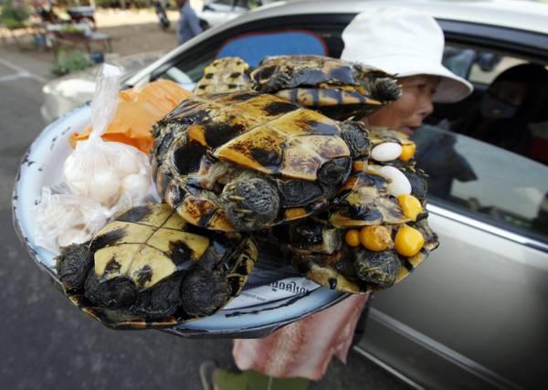 Grognards tartarughe a tavola in cambogia for Tartaruga acqua dolce razze