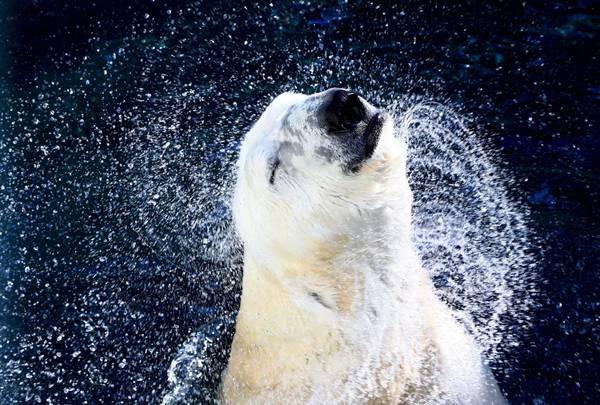 Il gioco di un orso polare nella piscina del parco for Gioco di piscine