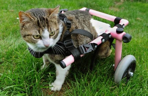 grognards brigitta il gatto sulla sedia a rotelle