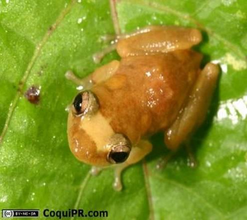 La rana Eleutherodactylus juanariveroi, SULLA QUALE è è stata sperimentata con successo la nuova tecnologia del riconoscimento vocale (fonte: CoquiPR.com)