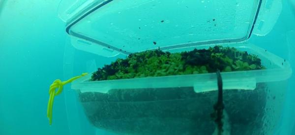 Arriva il basilico subacqueo, progetto sperimentale a Noli