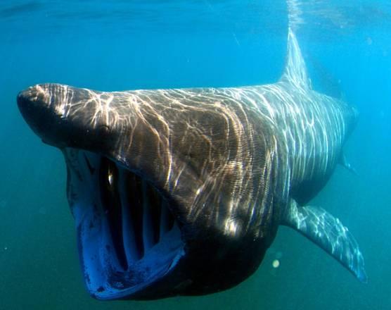Completata la mappa del Dna dello squalo elefante