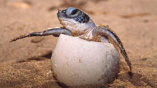 pi tartarughe marine femmine per riscaldamento del clima