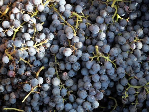Libia vivai cooperativi rauscedo bloccato invio piante - Piante uva da tavola ...