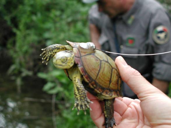Tartarughe d 39 acqua dolce ue difende quella ligure ed for Acquario tartarughe vendita