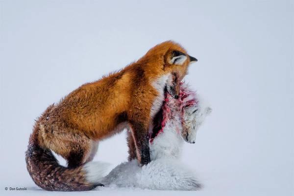 Lotta fra volpi è lo scatto che vince il Wildlife photographer of ...