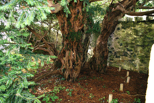 Lo Yew Tree di Fortingall, in Scozia (foto Mogens Engelund)