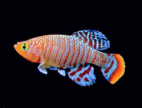 Nel pesce che 'nasce vecchio' la ricetta anti-età
