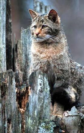 Guerra A Gatti Selvatici In Australia 2 Milioni Da Abbattere