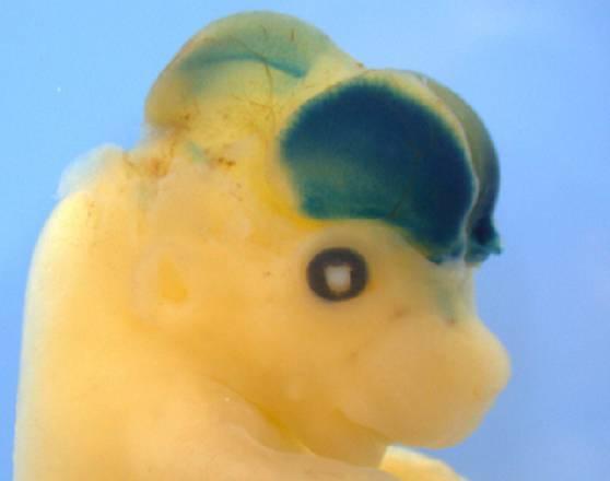 Nel topo cervellone il segreto della 'superiorità' del cervello umano