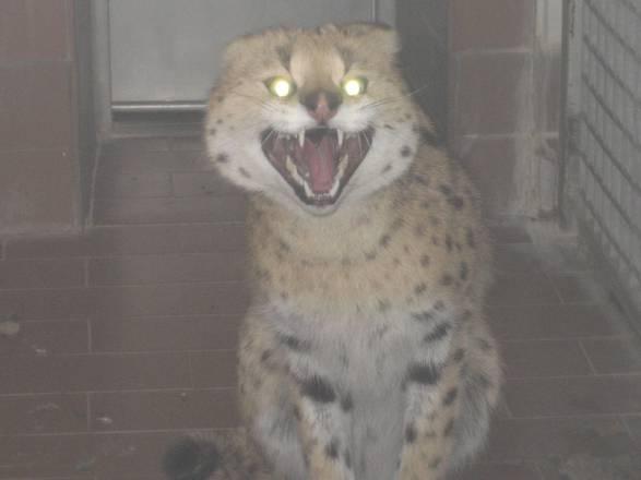 Catturato gattopardo africano nel Meranese