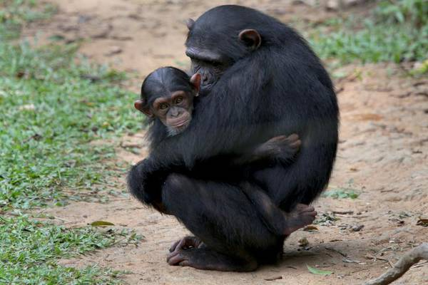 Bonobo as hot as she039s tall - 3 9