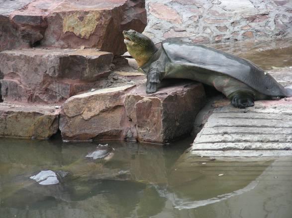 Tartaruga Dal Guscio Molle.Appesa A Un Filo Sopravvivenza Tartaruga Yangtze Natura