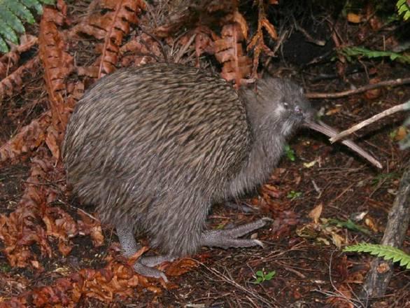 Mappato il Dna del kiwi, animale simbolo della Nuova Zelanda