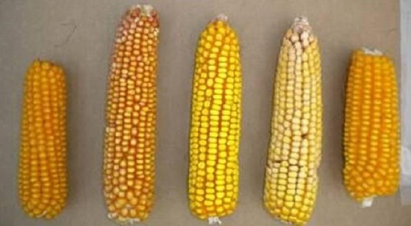 MAGIC maize, la diversità delle spighe prodotte da linee genetiche differenti (fonte: Scuola Superiore Sant'Anna)