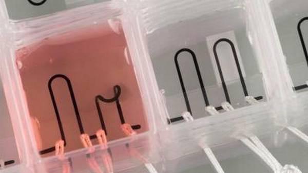 il primo cuore su chip dotato di sensori
