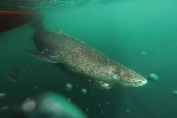 Scoperti gli squali Highlander, hanno 400 anni