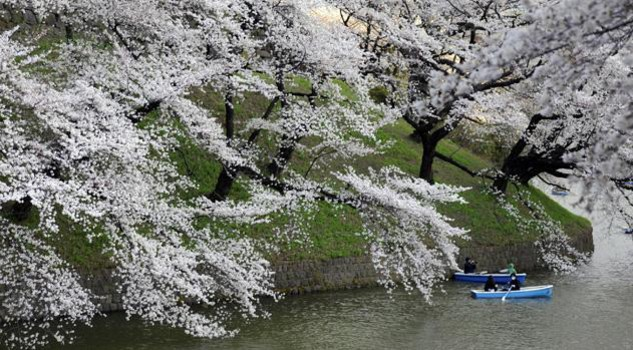 Ciliegi in fiore lo spettacolo del giardino giapponese giardino