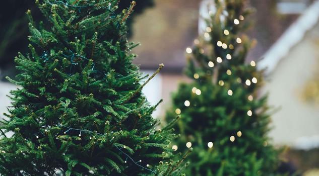 Albero Di Natale Vero Come Farlo Sopravvivere.Albero Di Natale Ccco Come Scegliere L Abete E Farlo Germogliare In