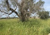 Ulivi colpiti dal batterio Xylella a Gallipoli (Lecce) (ANSA)