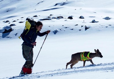 Scialpinista con il piccolo capriolo (ANSA)