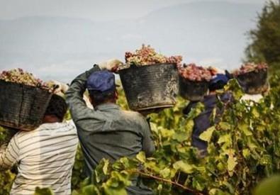 Immigrati al lavoro nei campi (ANSA)