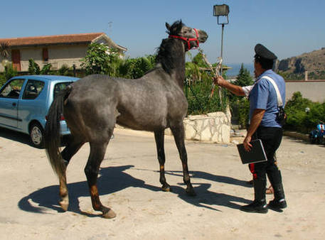 Cavalli in strada recuperati dai cc emilia romagna for Cavalli in vendita in trentino