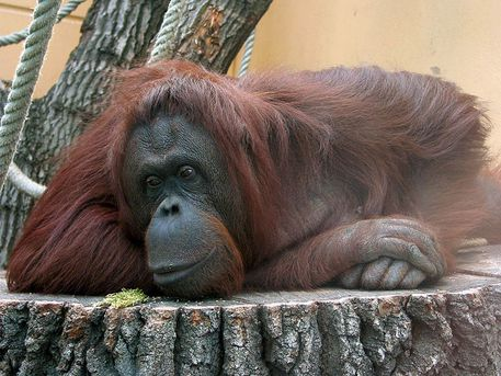 Un orango  (Fonte: Zyance) © Ansa